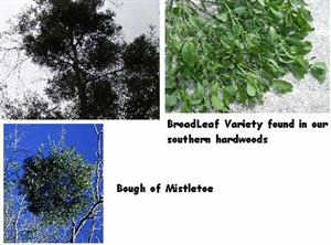 mistletoe, parasite, picture, tree, spread,  hausteria